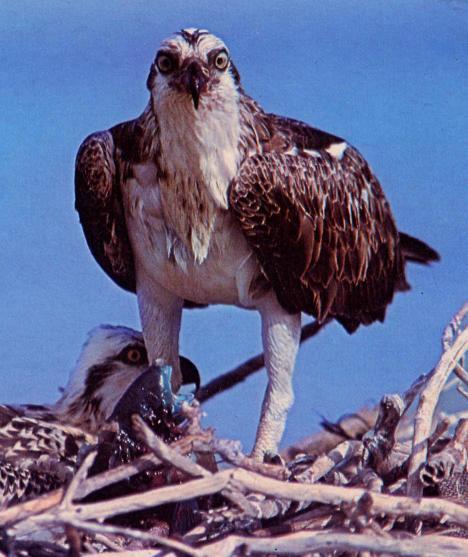richosprey
