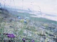 iceland-grasses